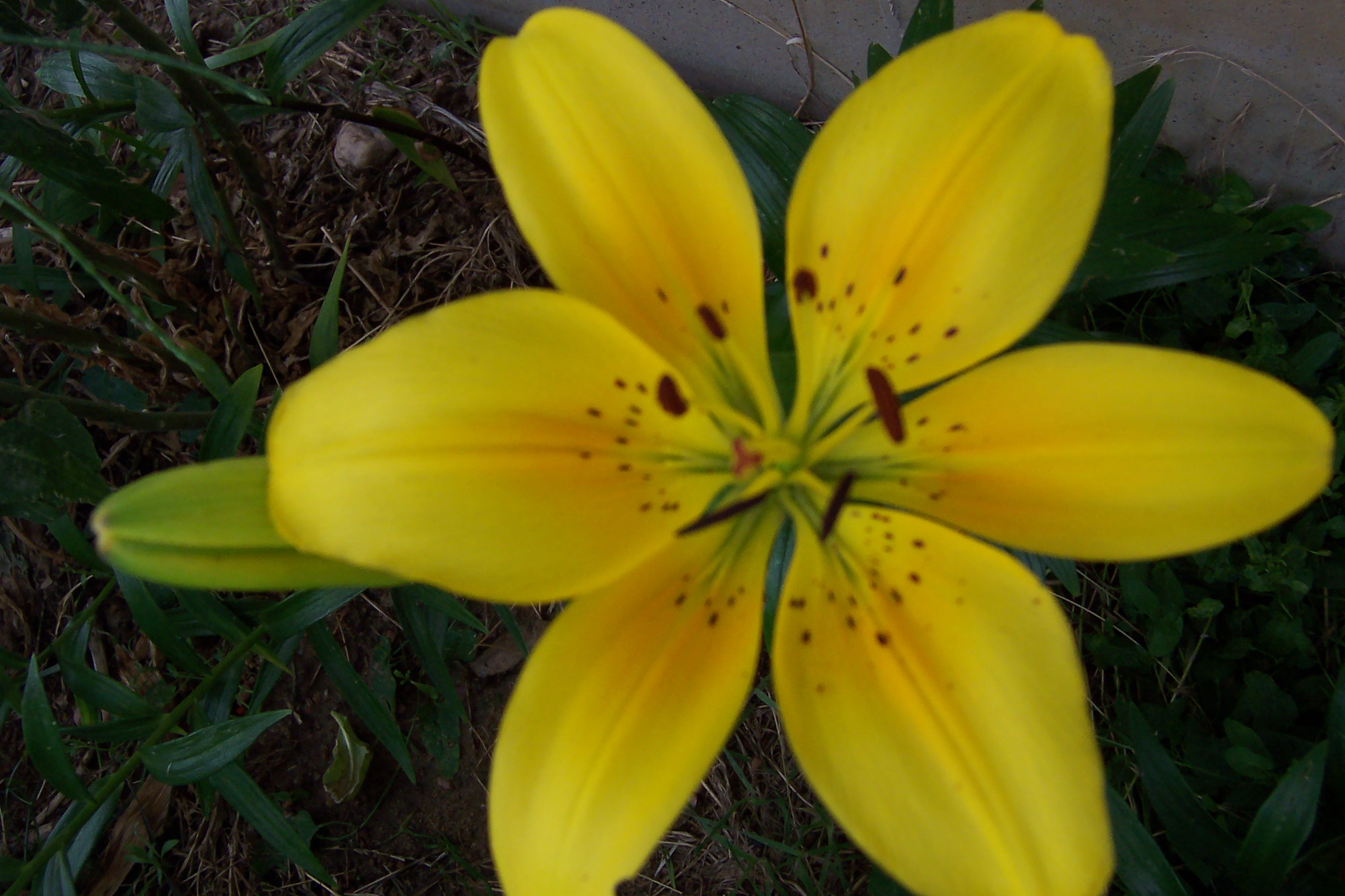 Lilies and spanish life transplanet what izmirmasajfo