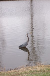 Heron in lake in Greeley