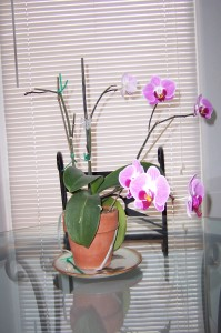 orchids-in-bloom-on-table