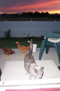 Kitty and Chickens