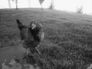 chicken-bw