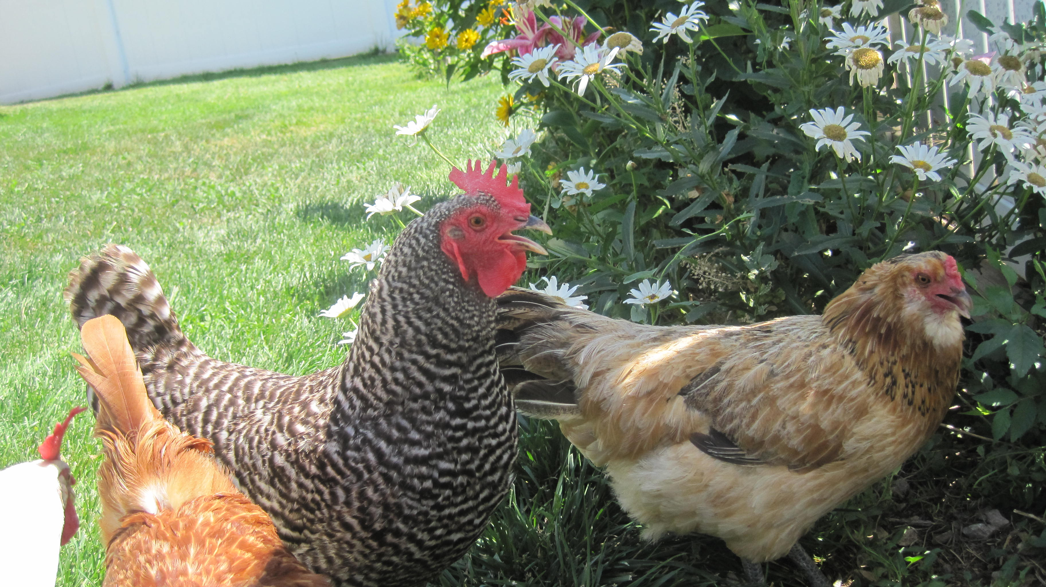 backyard hens facts and faqs life transplanet