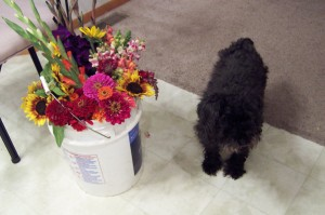 Schnoodle and bucket of flowers