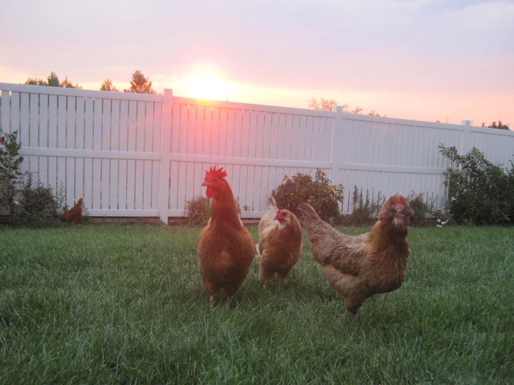 Chickens at Dusk