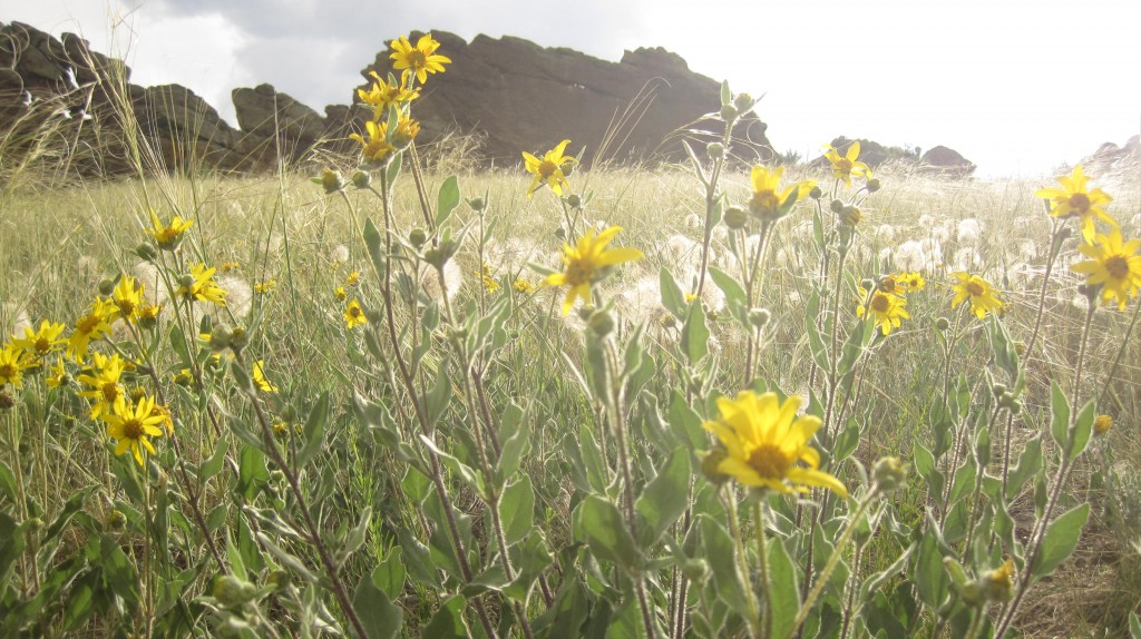 Yellow wildflower field and devils backbone