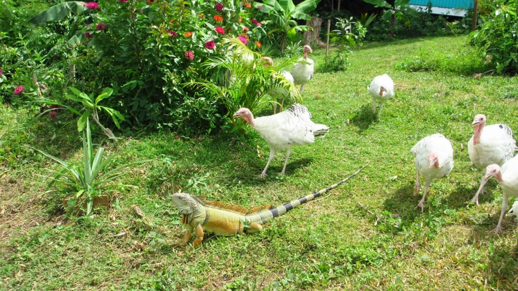 iguana turkey time small