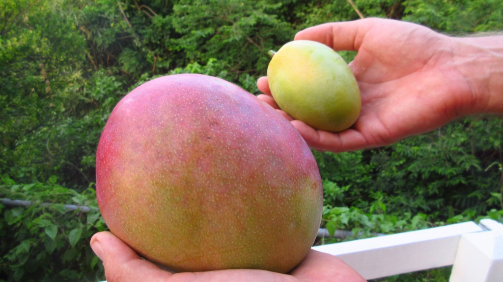 Massive mango and common
