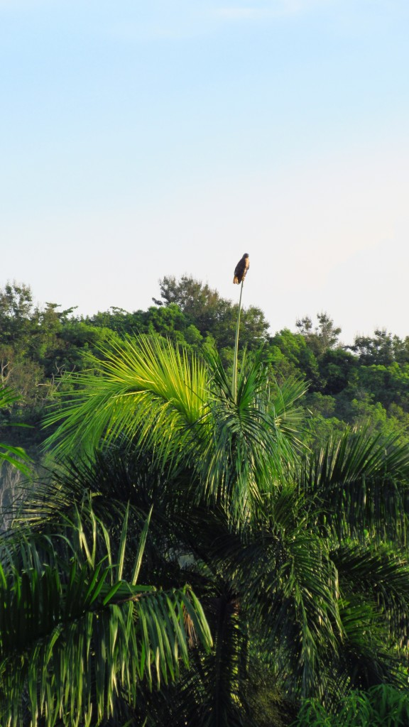 Hawk on a royal palm spire