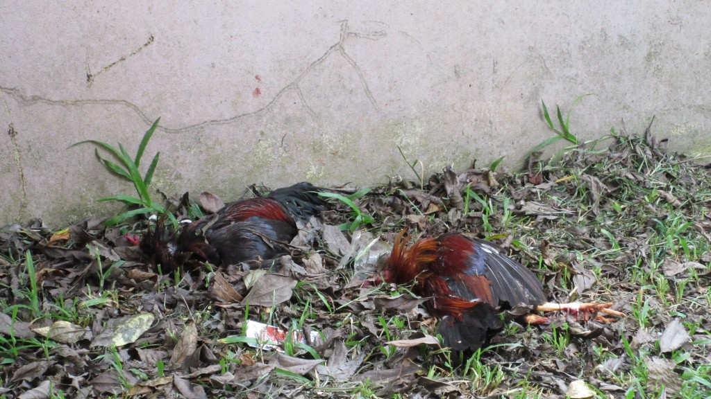 Dead roosters