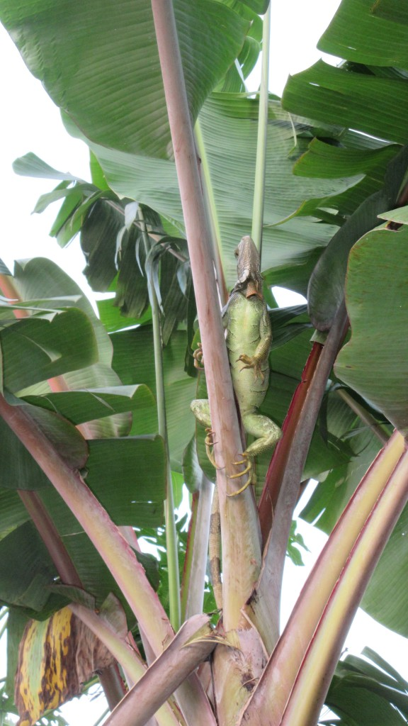 Iguana in banana tree