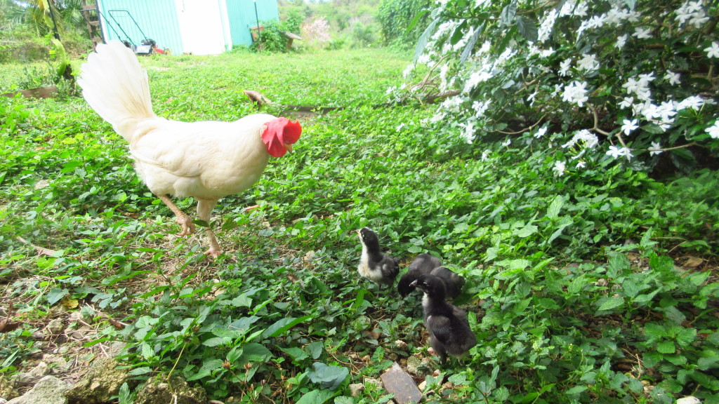 Leghorn and chicks