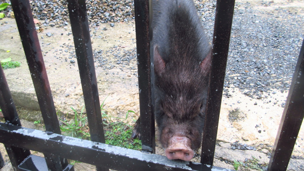 Pig at the gate