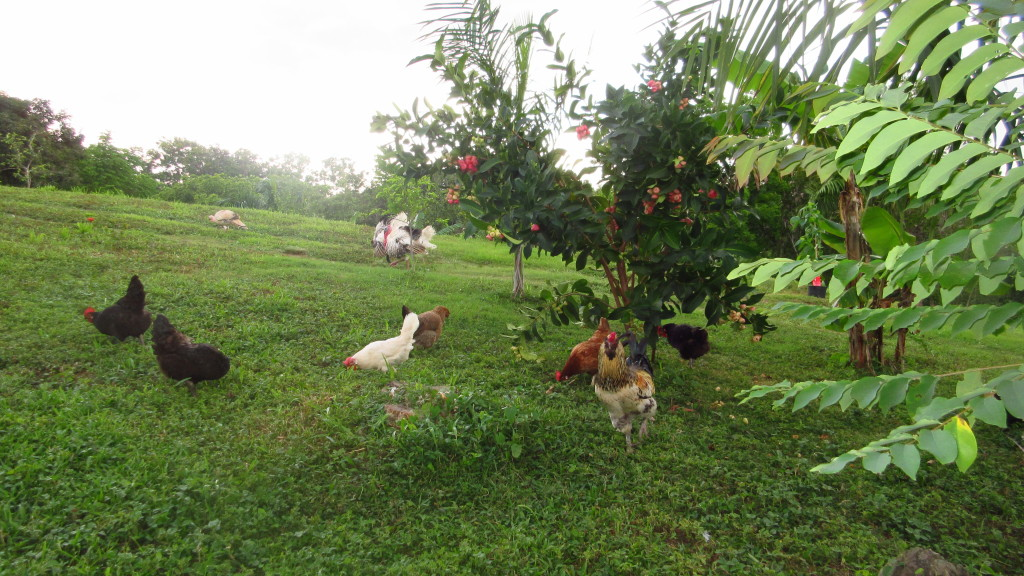 chickens and pomarrosa