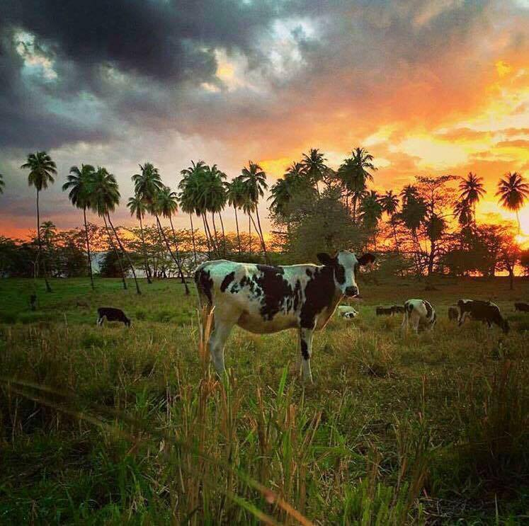 Cow sunset