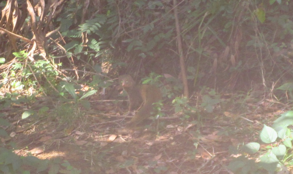Ardilla Mongoose crop