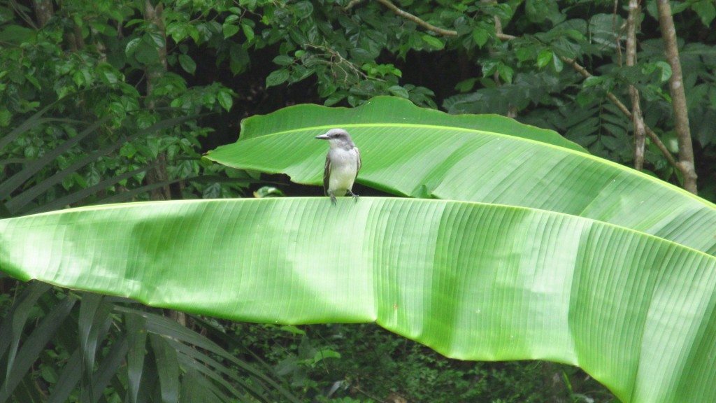 Bird on a banana leaf