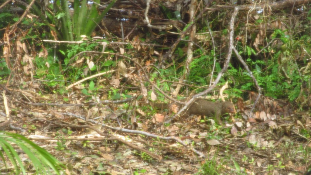 Ardilla Mongoose
