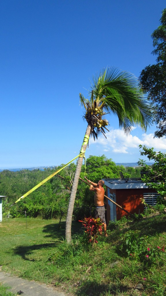 Uprighting palm tree